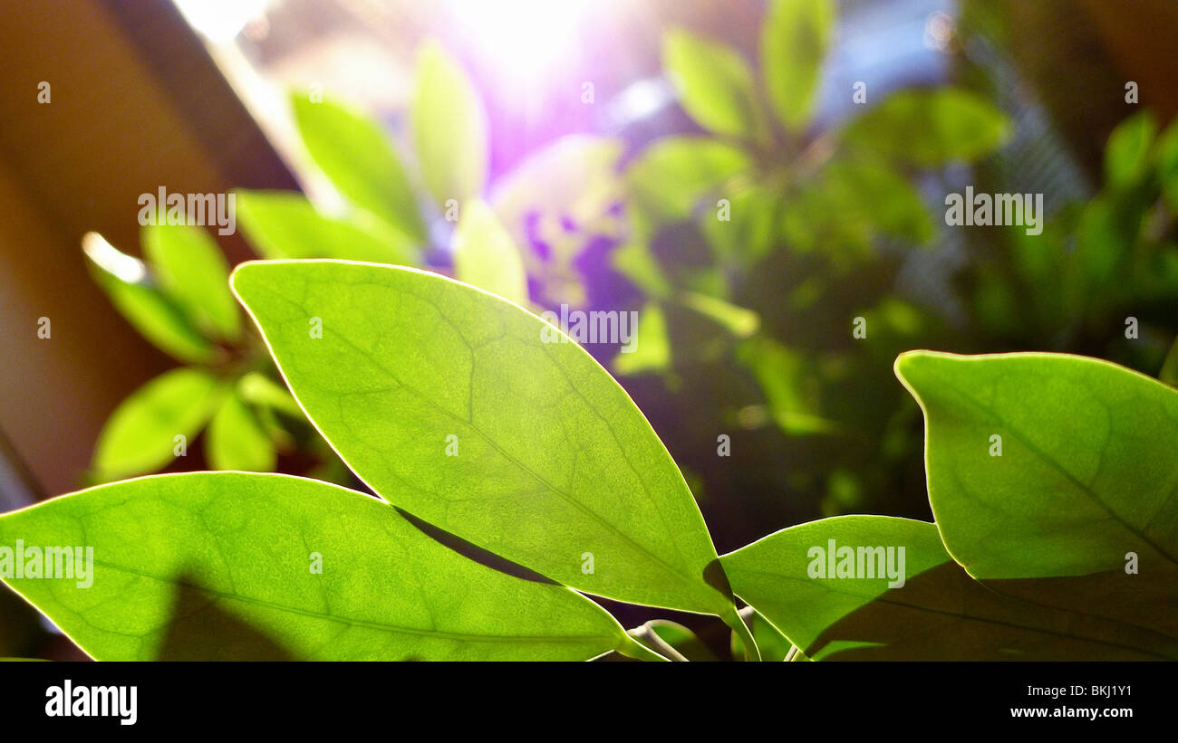 Green leafy indoor plant. - Stock Image