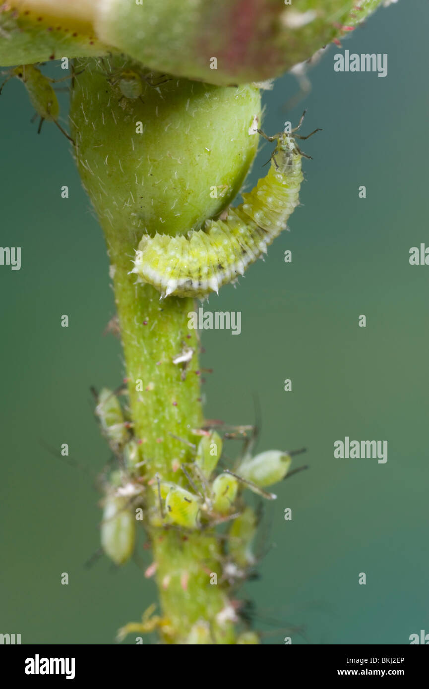 Hover fly larva attacking aphids - Stock Image