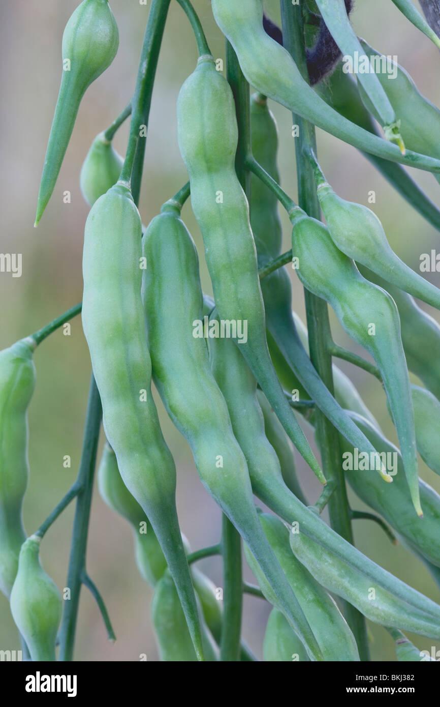 Seed pods of Daikon Radish on plant. Stock Photo