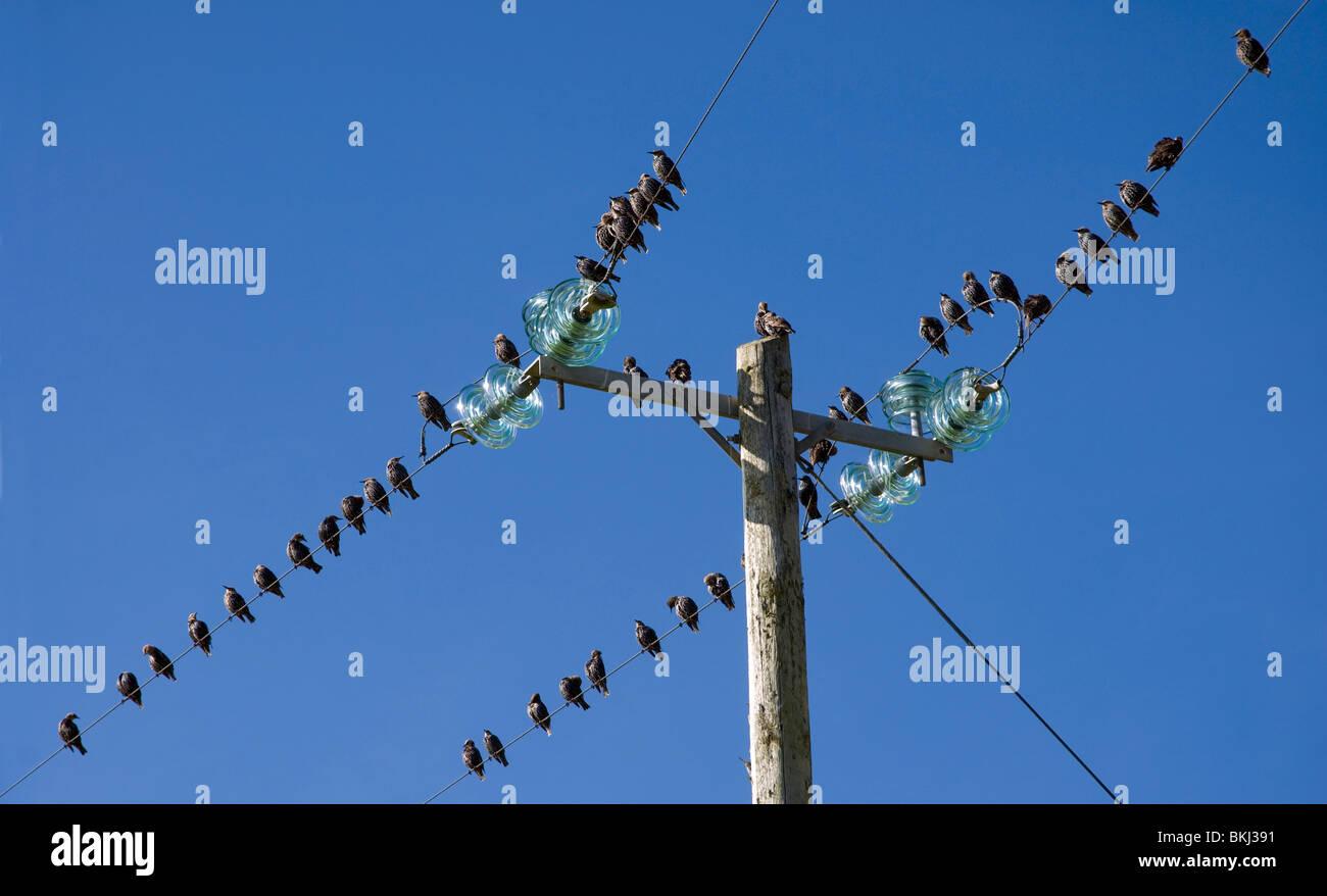 Starlings on telegraph wires, Moyard, Connemara, Ireland - Stock Image