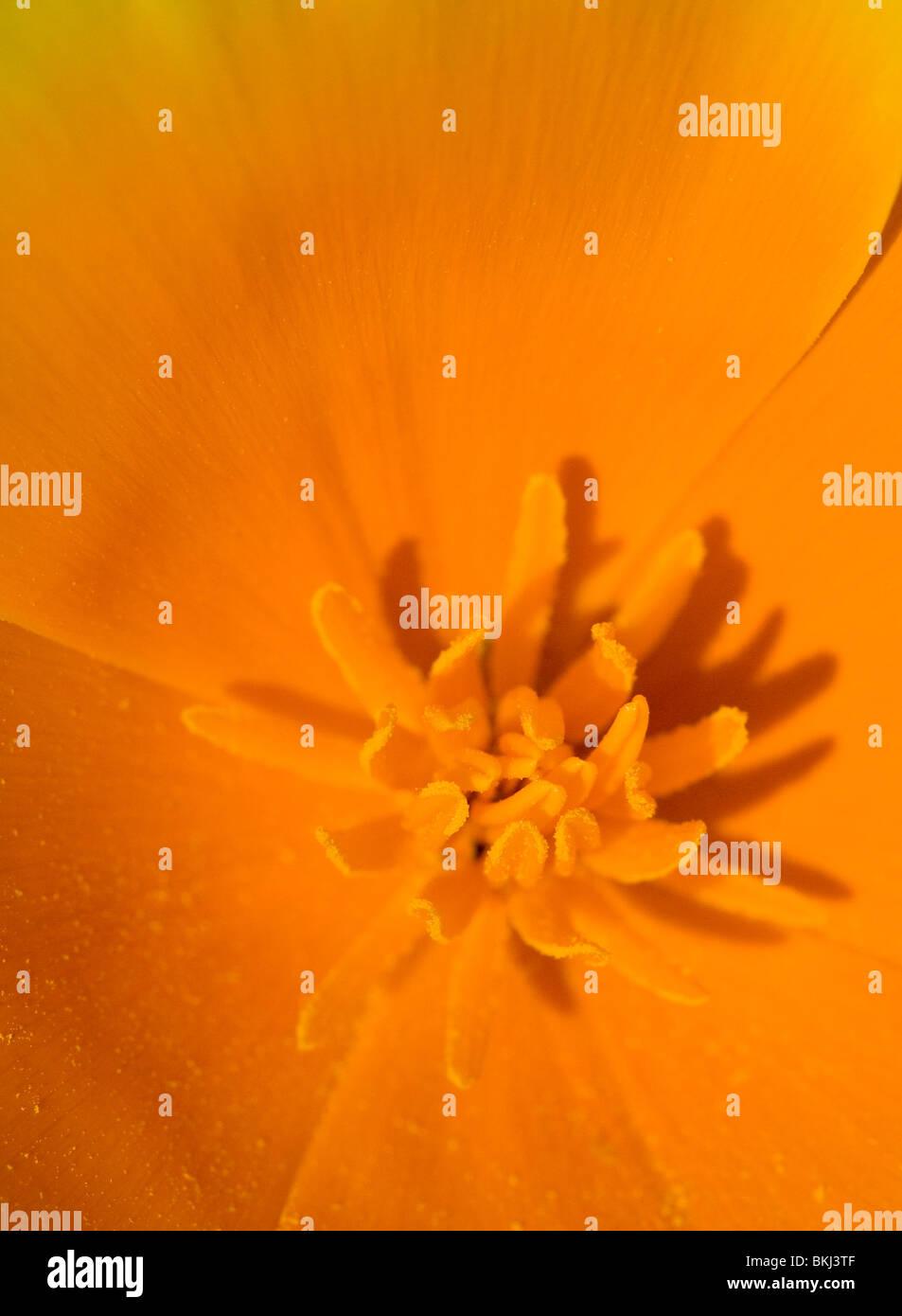 Macro of Interior of California Poppy - Stock Image
