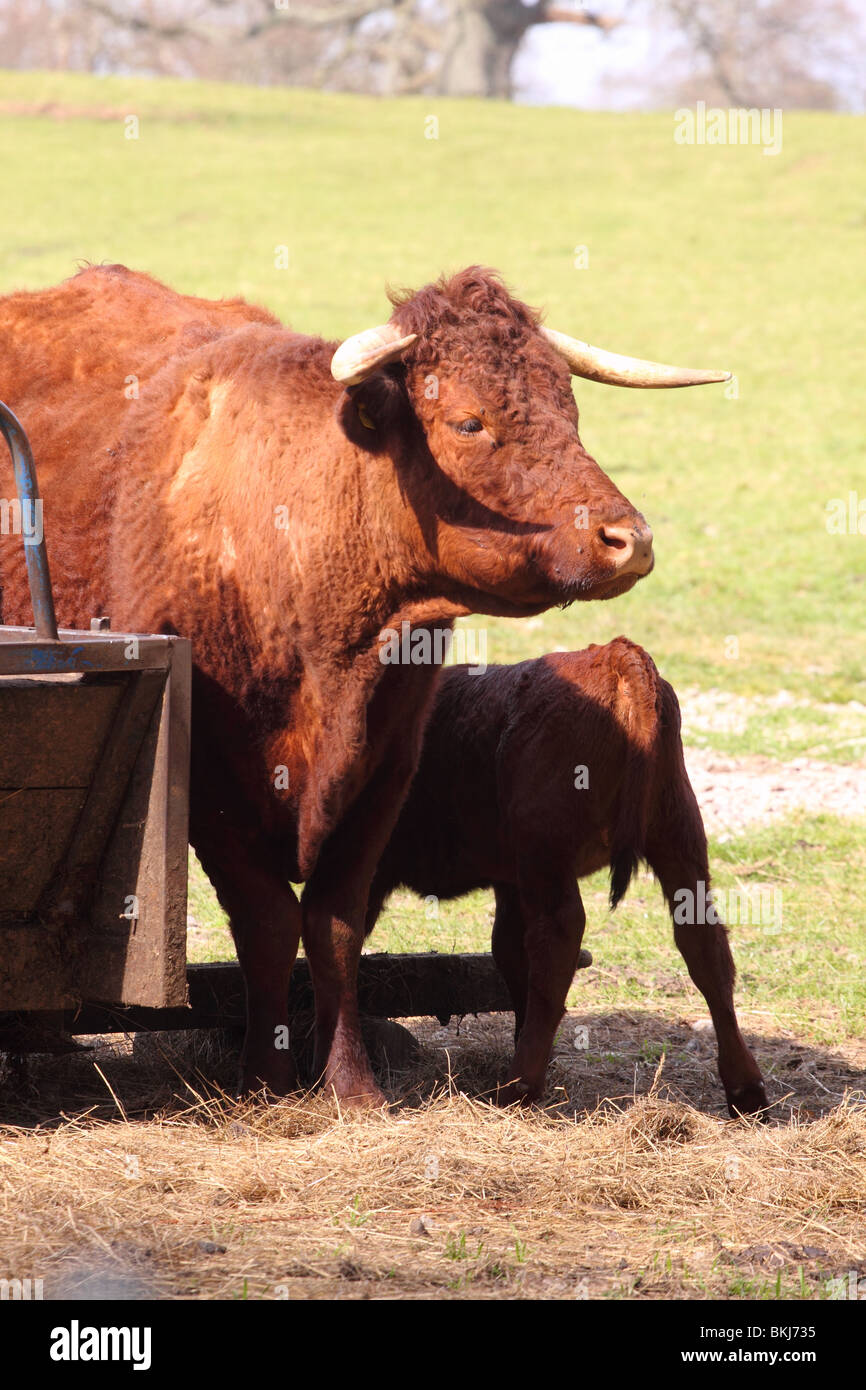 North Devon cow also known as the Devon Ruby or Ruby Red cattle with young calf in April UK - Stock Image
