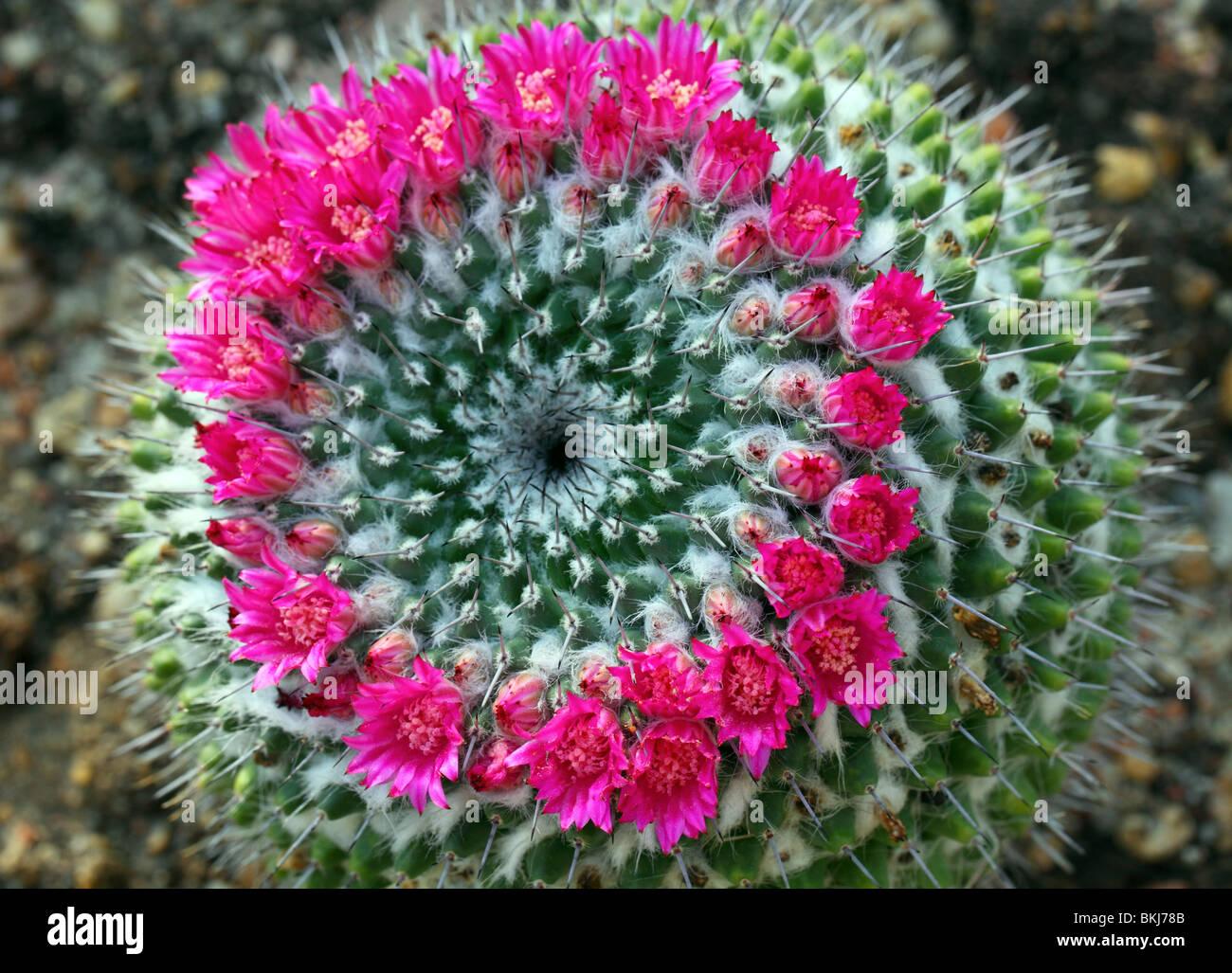 Cactus Mammillaria sempervivi flowers close up Mamilaria - Stock Image