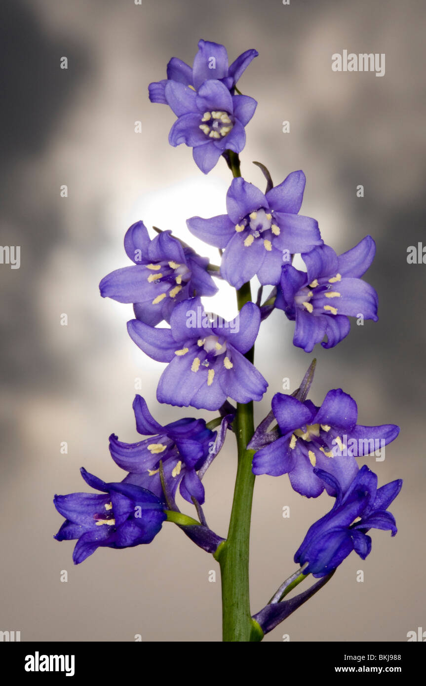 close up of the flower spike of the spanish bluebell Hyacinthoides hispanica with sun and stormy spring clouds behind. - Stock Image
