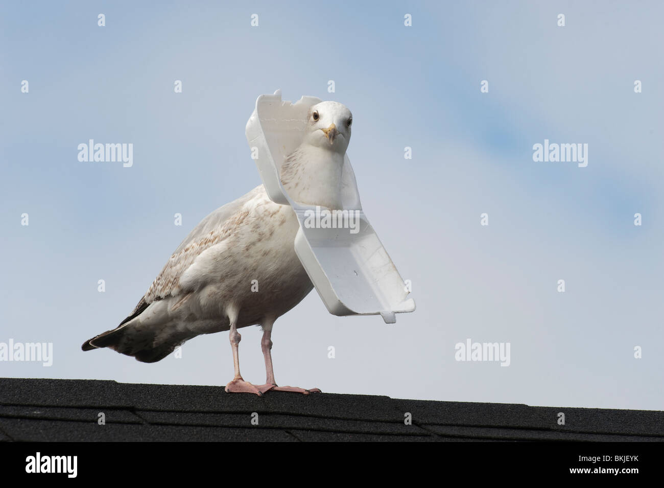 seagull with polystyrene container stuck around his neck stock photo