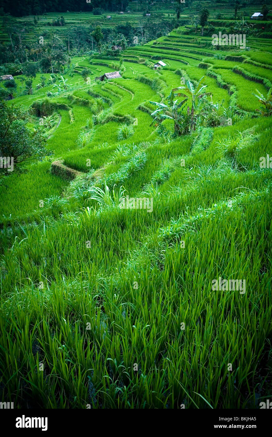 Lush green rice Terraces Banue Philippines - Stock Image