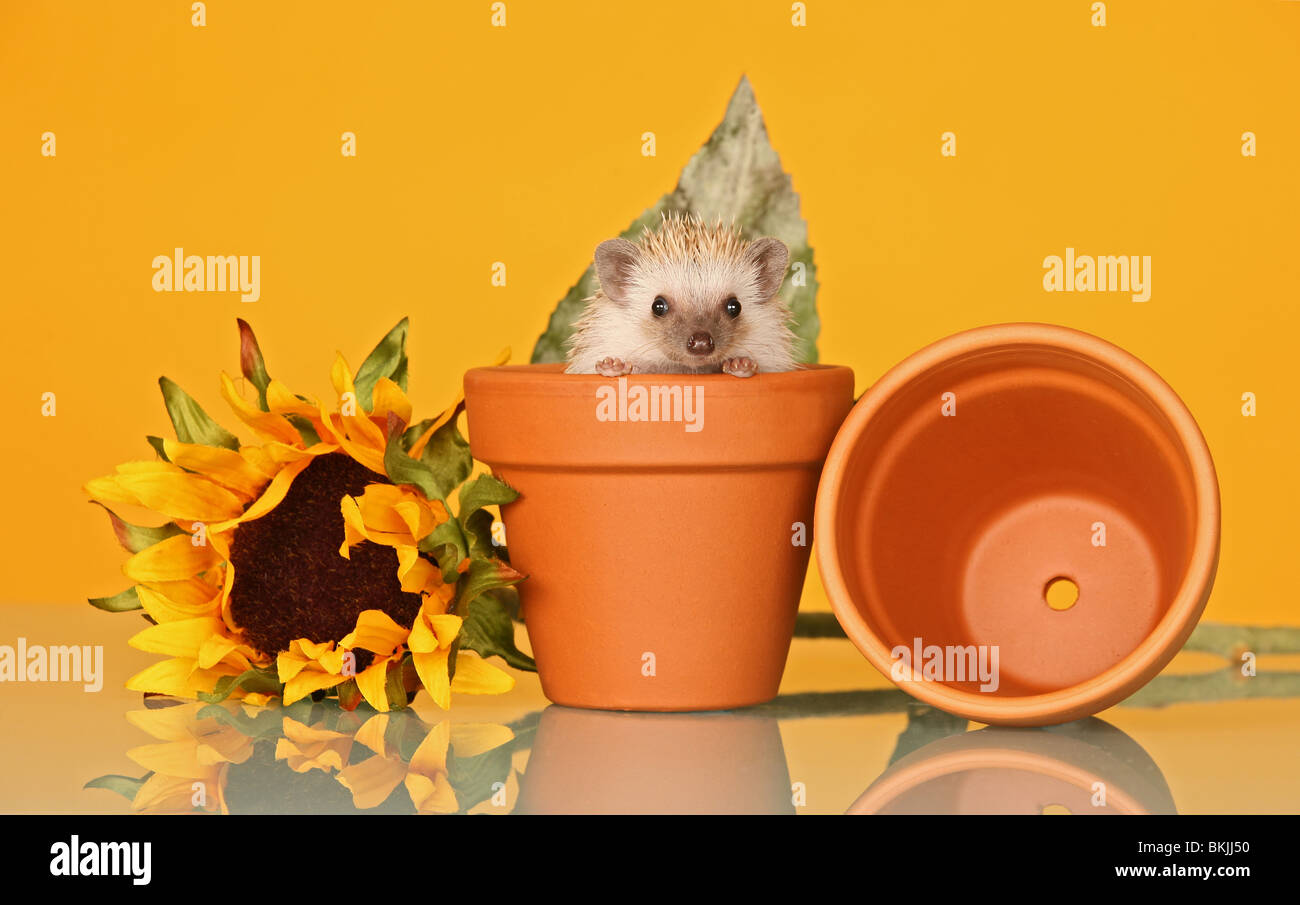 An African Pygmy Hedgehog sat in a plant pot with a sunflower in an Anne Geddes style photograph - Stock Image