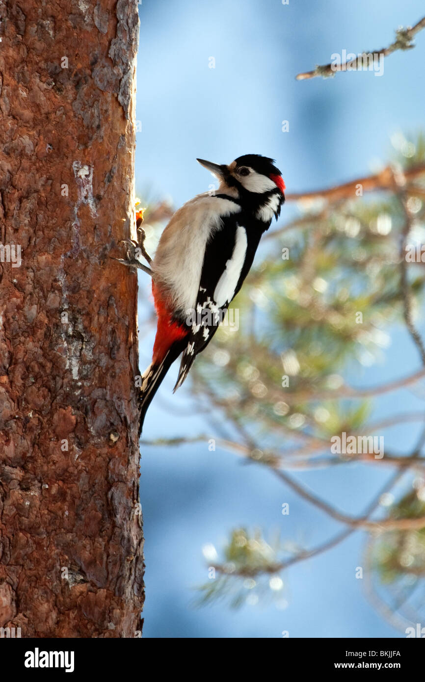 Bird,birds, woodpecker, lapland, Finland, nordland - Stock Image