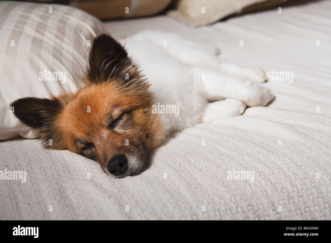 Nashville, Tennessee, United States Of America; A Dog Sleeping On A Bed - Stock Image
