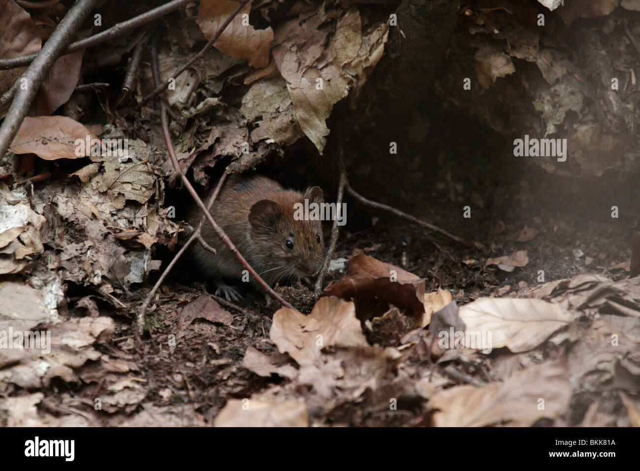 Bank vole mouse (Myodes glareolus) in its natural habitat. They are (pretty cute) vectors for the Hanta virus. - Stock Image