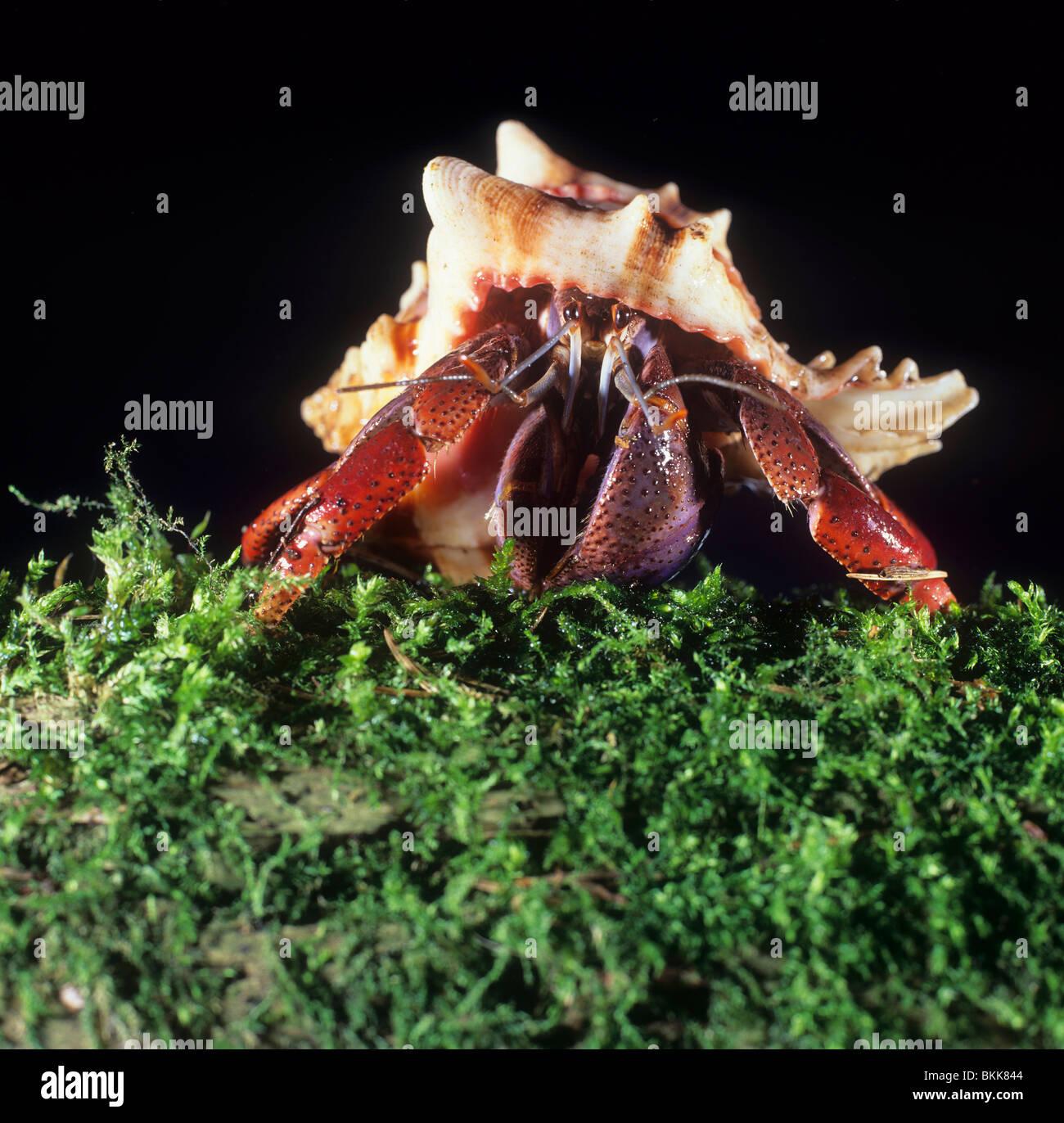 Terrestrial Hermit Crab (Coenobita sp.). - Stock Image