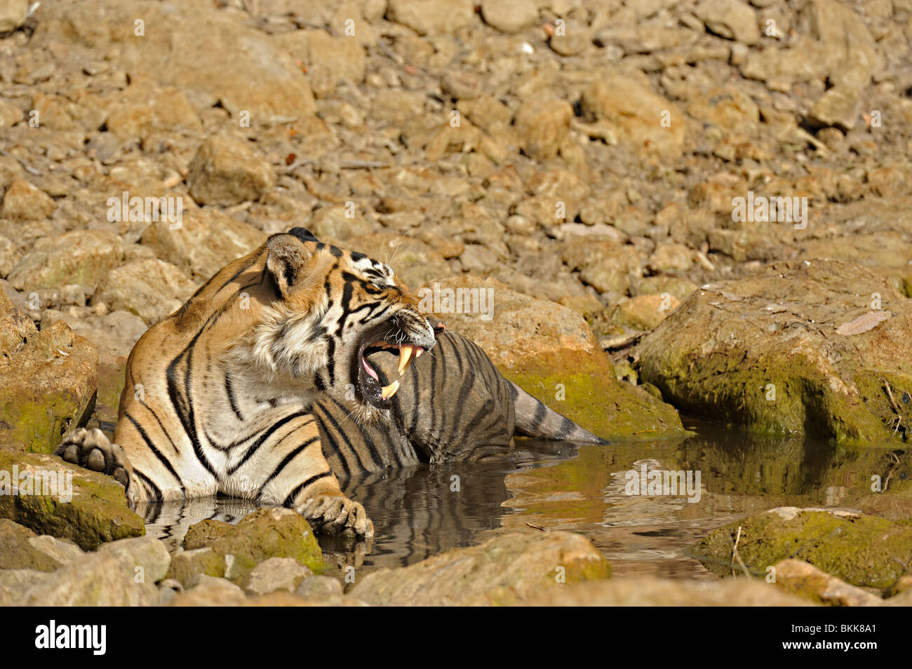 Tiger in a water hole in Ranthambhore - Stock Image