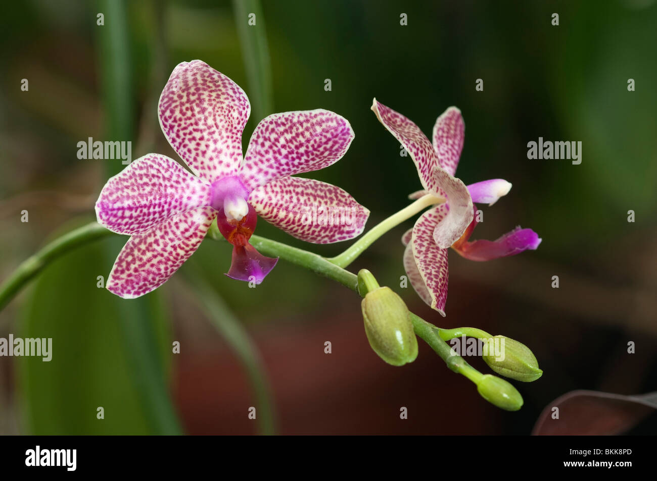 Butterfly Orchid (Phalaenopsis hybrid Schampus), flowers. - Stock Image