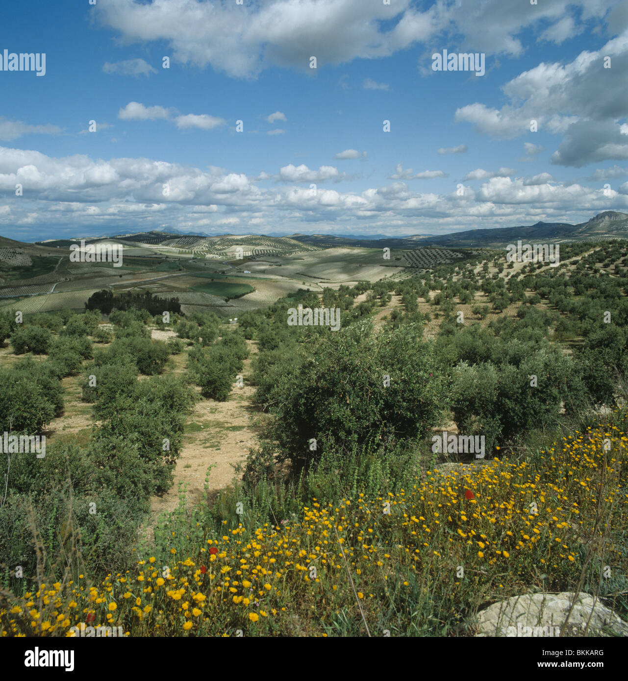 Olive groves on a fine spring day in Andalusia, Spain - Stock Image