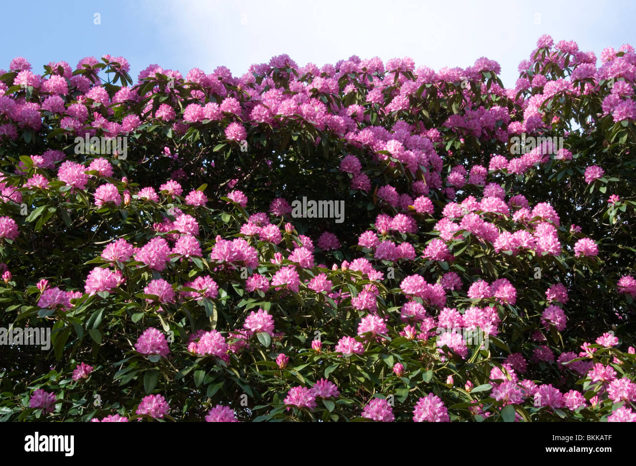 Rhododendron bush in flower - Stock Image