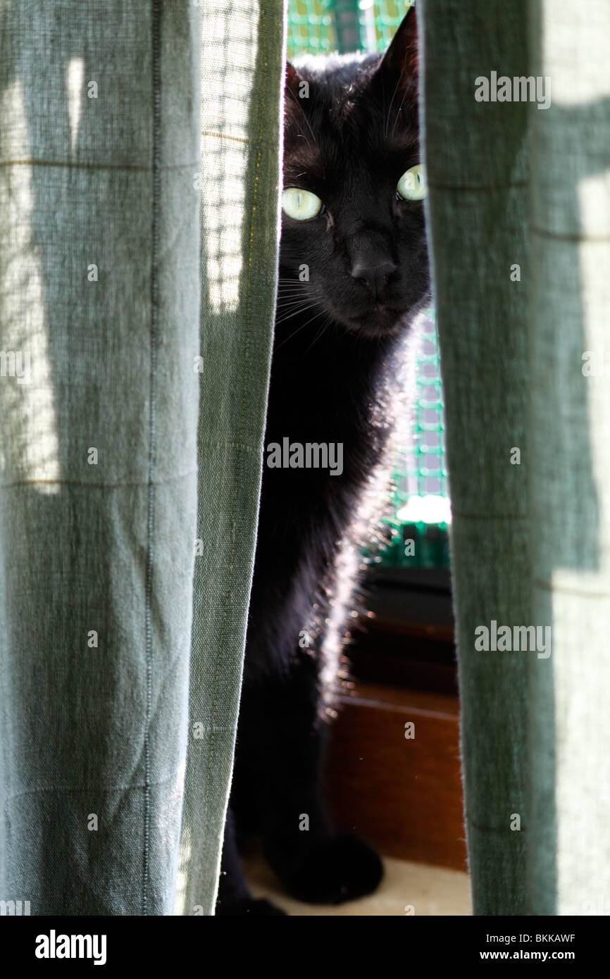 A black cat hiding behind curtains - Stock Image