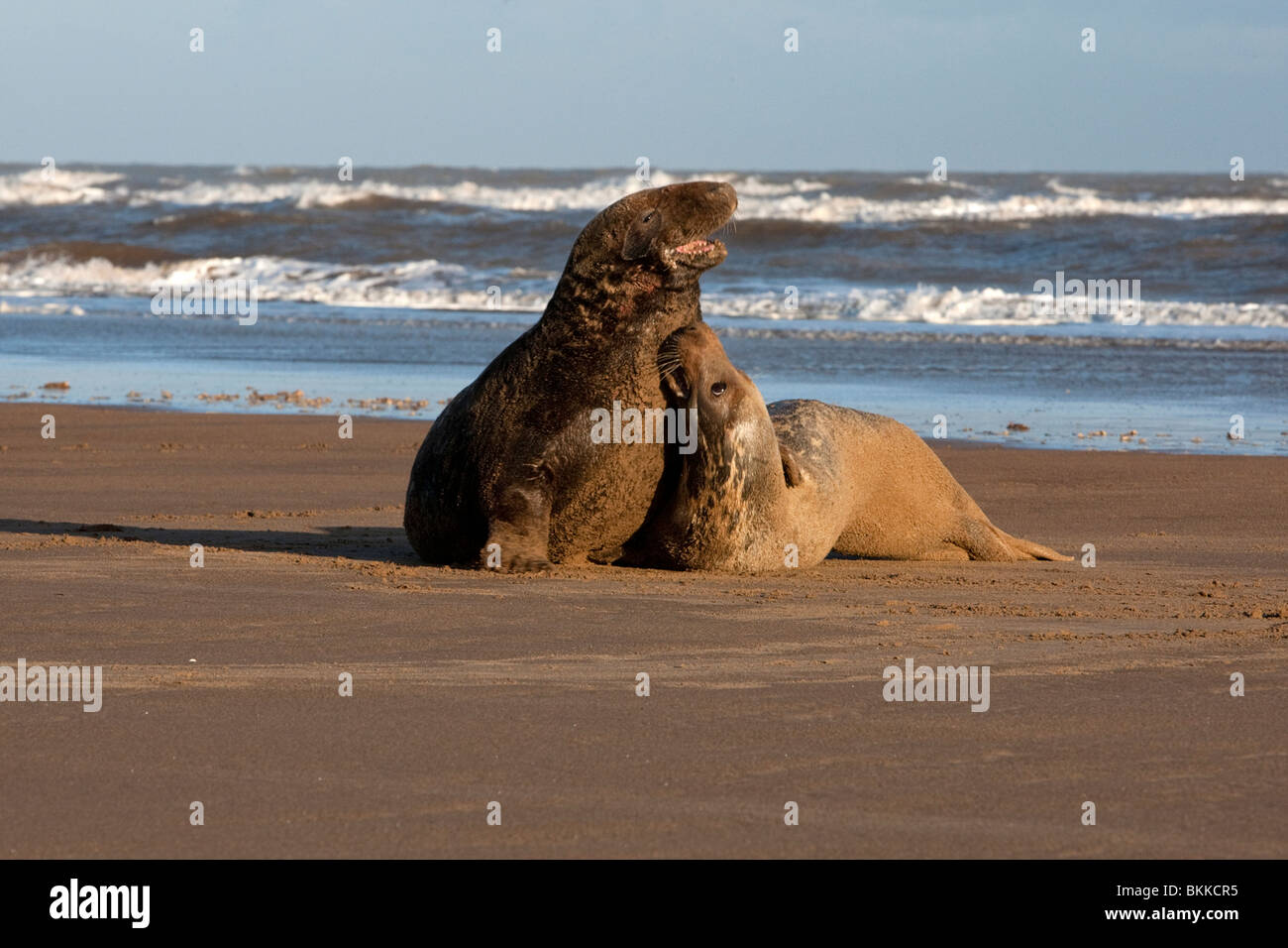 2 ; two Atlantic ;Grey; Seal; Halichoerus grypus; playing on the beach at dawn Stock Photo