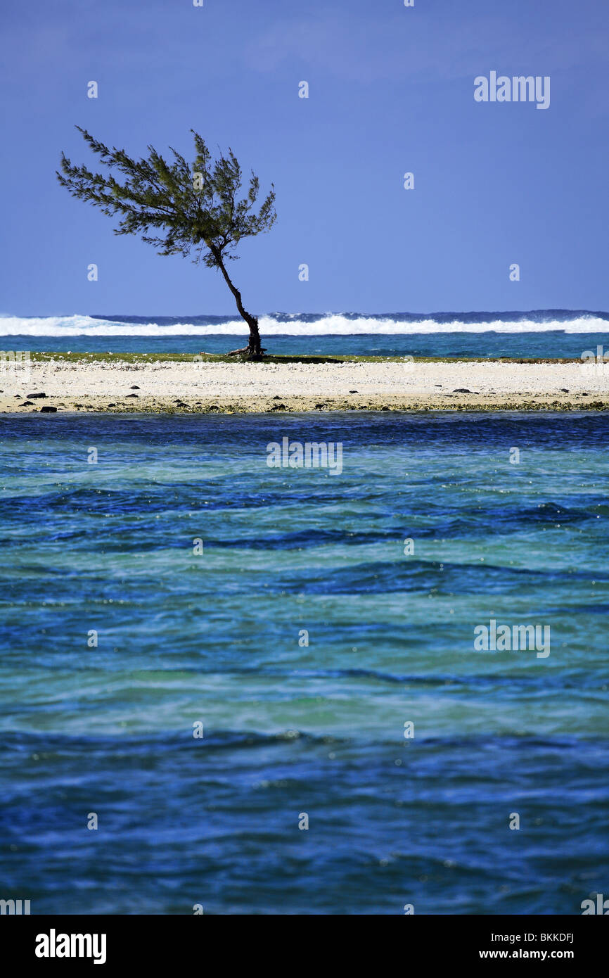isolated casuarina tree on a sandy strip - Stock Image