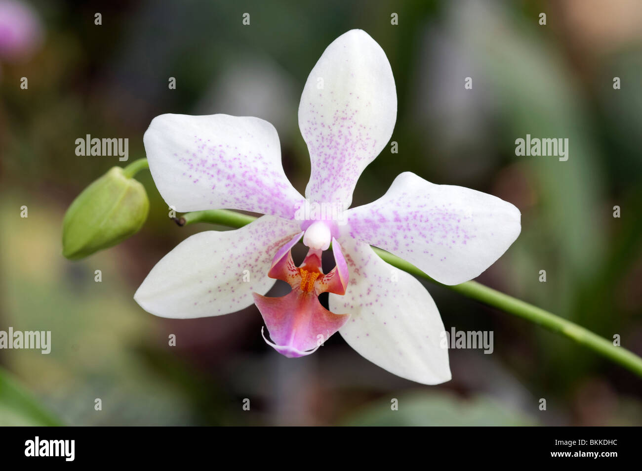 Butterfly Orchid (Phalaenopsis sp.). White flower with pink markings. - Stock Image