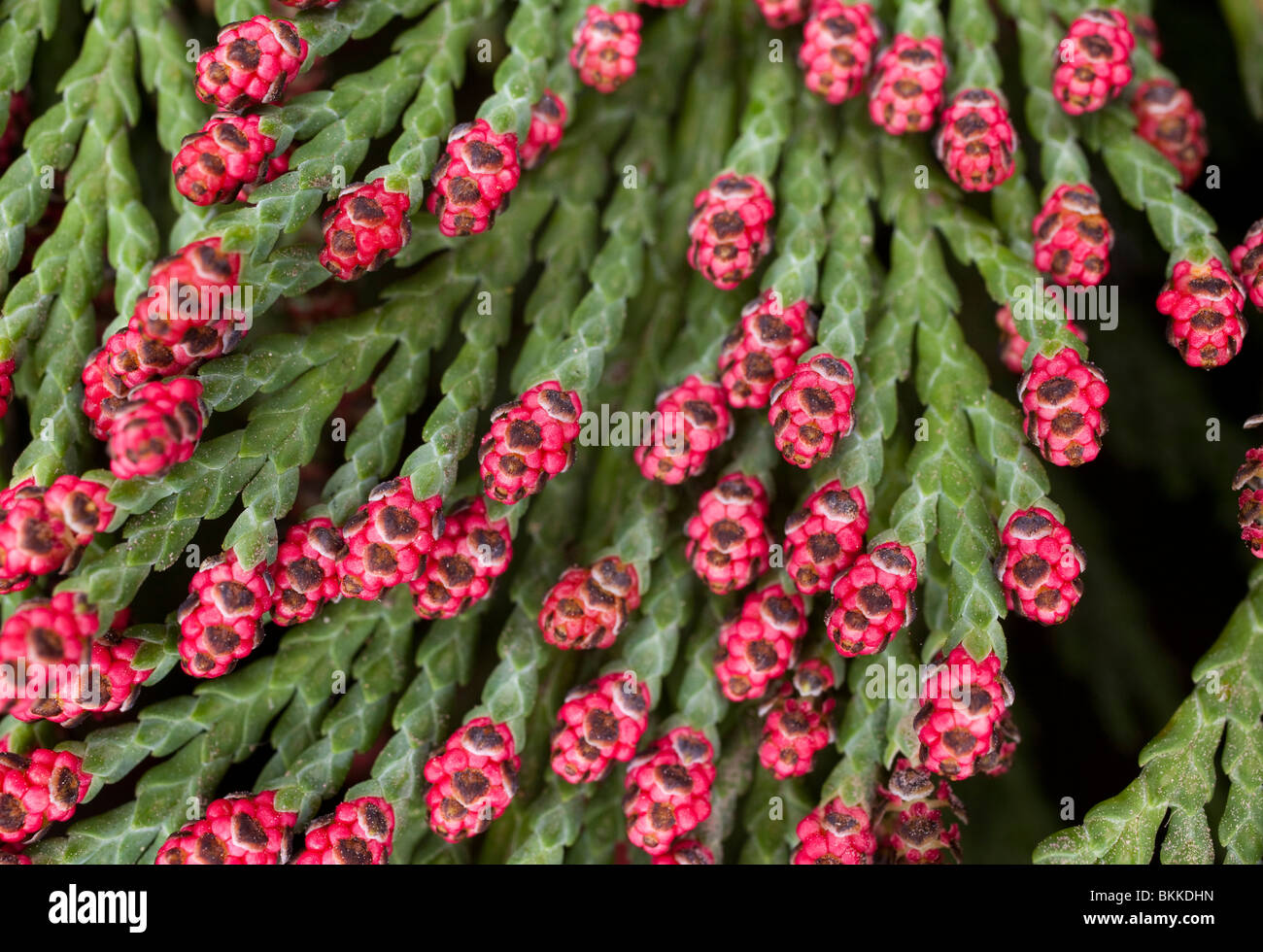 red cone buds on conifer tree / bush Stock Photo