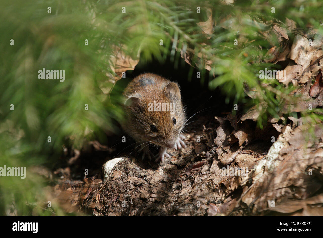 Bank Vole, Myodes glareolus, in its natural habitat in a beech forest. - Stock Image