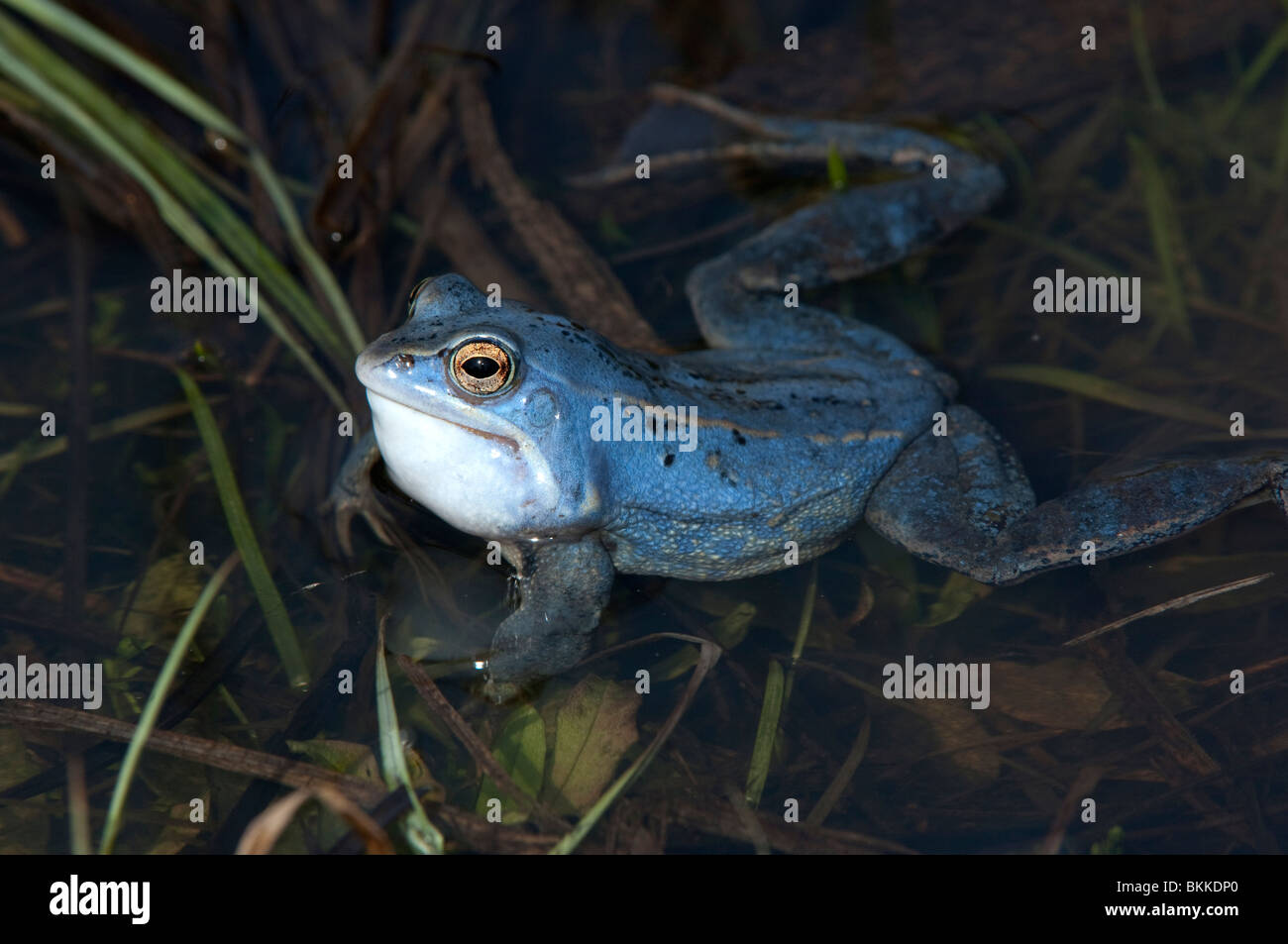 Moor Frog (Rana arvalis). Blue colored male in shallow water, croaking. - Stock Image