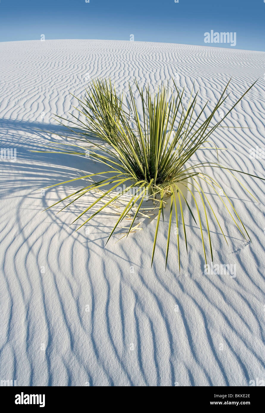 A yucca plant growing at White Sands National Monument, New Mexico. - Stock Image