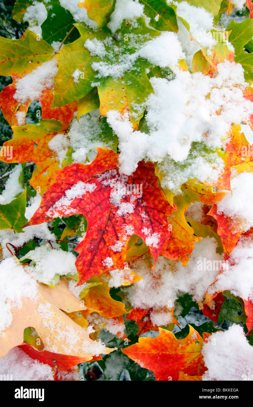 AN EARLY SNOW DECORATES MAPLE LEAVES. UNIVERSITY OF MINNESOTA LANDSCAPE ARBORETUM IN CHASKA, MINNESOTA.  OCTOBER. - Stock Image