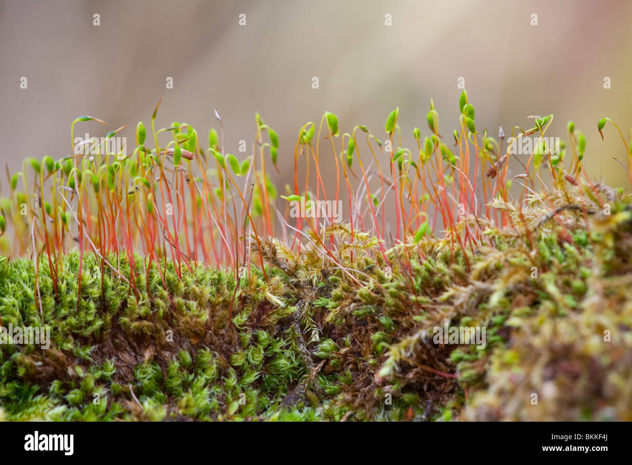 Moss species fruiting bodies - Stock Image