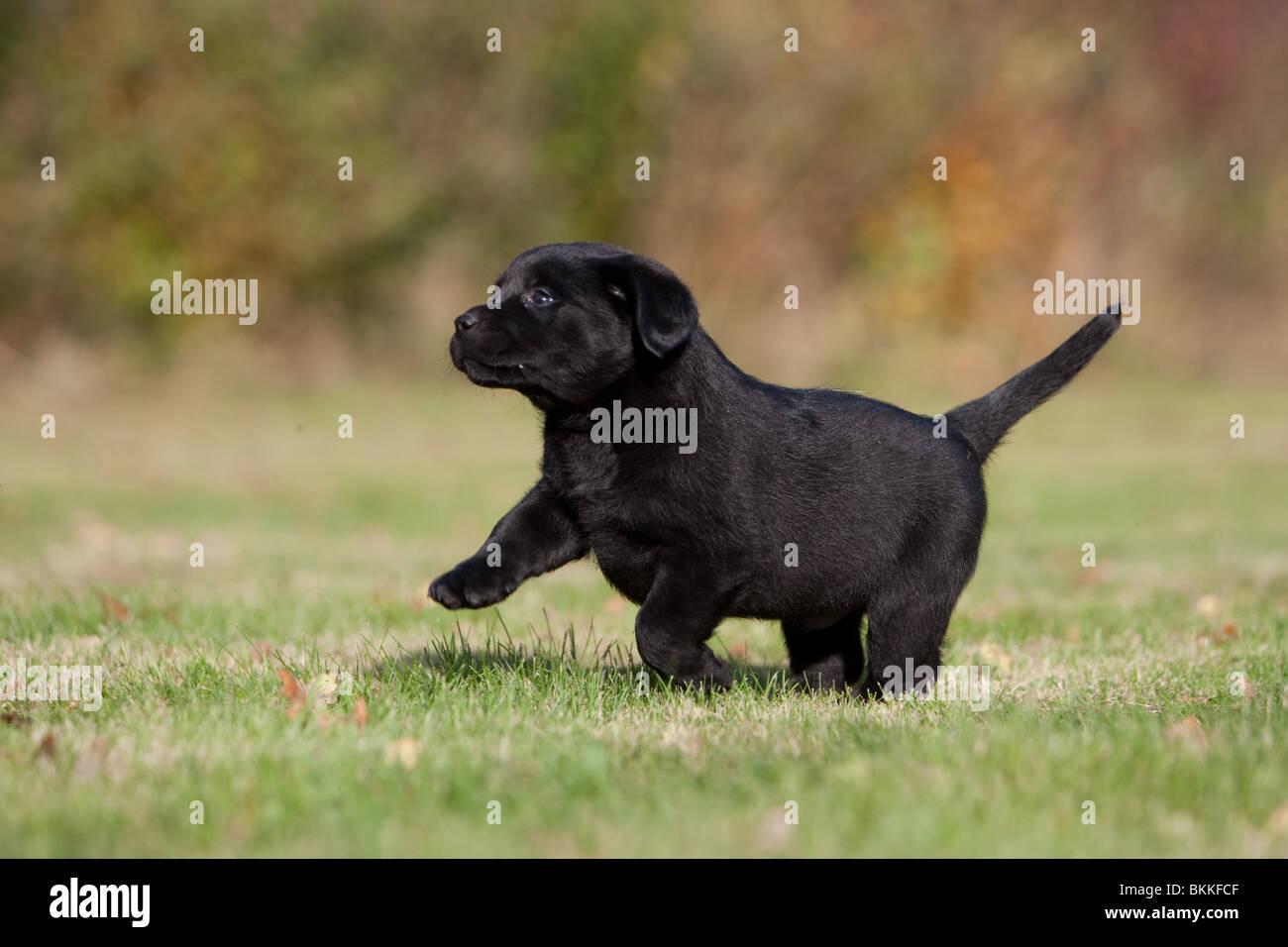 Labrador Retriever Puppy - Stock Image