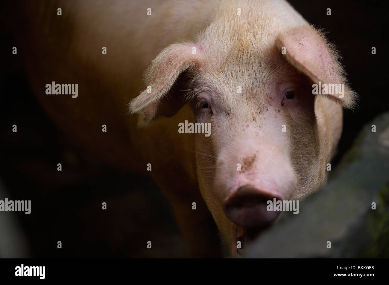 Pig in pen - Stock Image