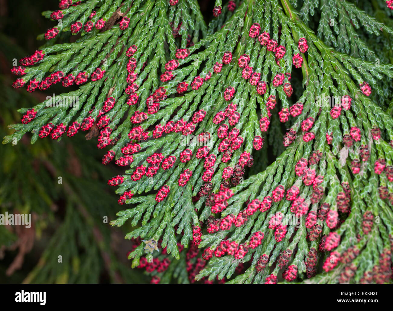 red cone buds on conifer tree / bush - Stock Image