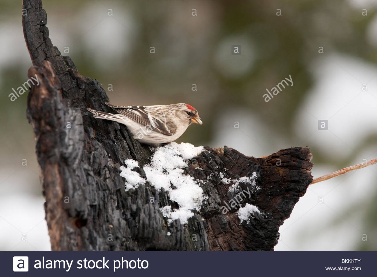 An Mealy Redpoll (Carduelis flammea) eating seeds. Kuusamo, north Finland. - Stock Image