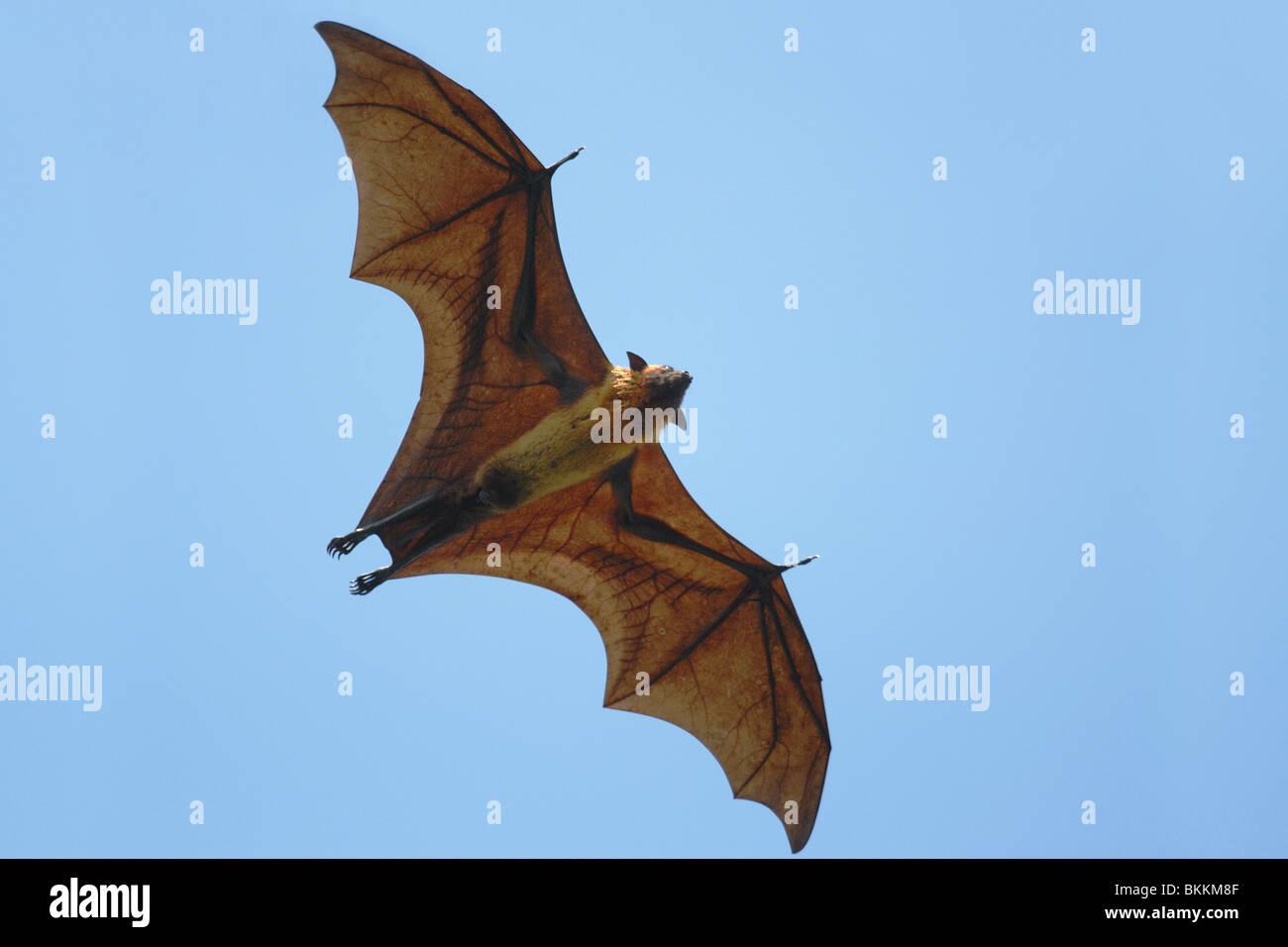 Flying Fox (Pteropus giganteus) flying in Sri Lanka Stock Photo