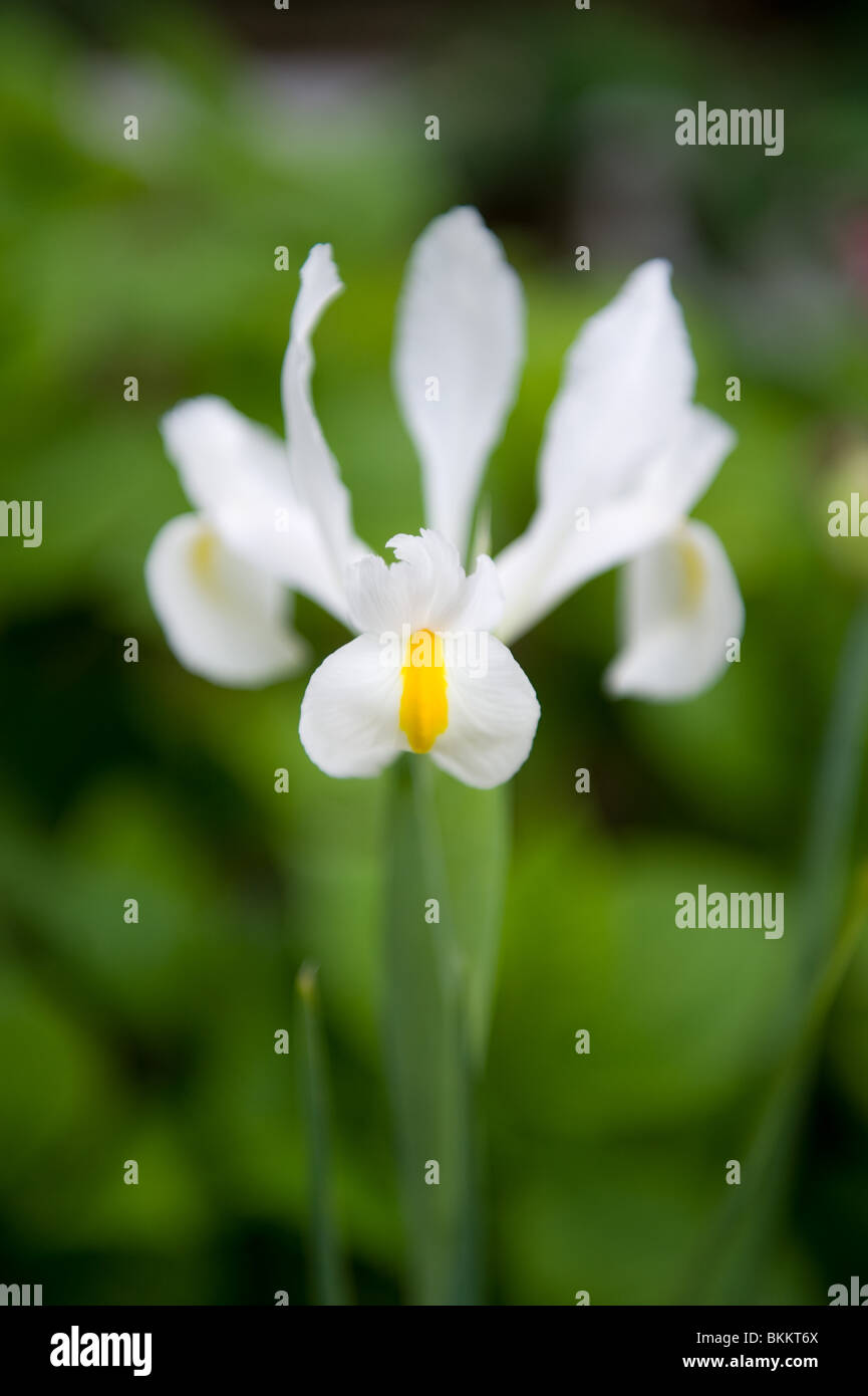 White And Yellow Dutch Iris Flower Grown From Bulb In And Urban