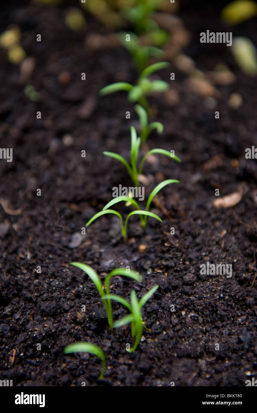 carrot seedlings stock photos amp carrot seedlings stock