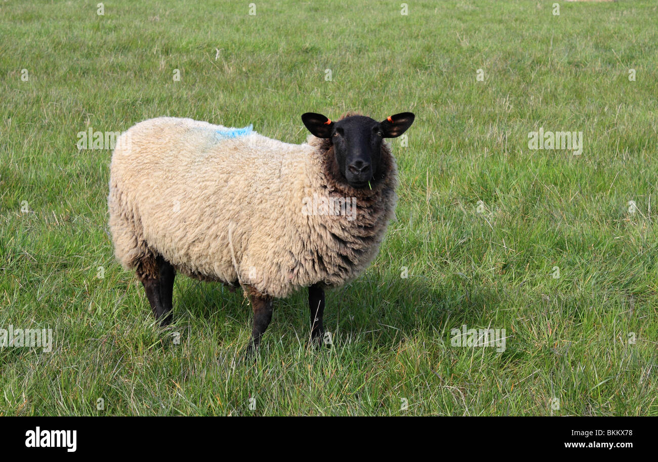 Black Faced Suffolk Domestic Sheep On Farmland At Seaford