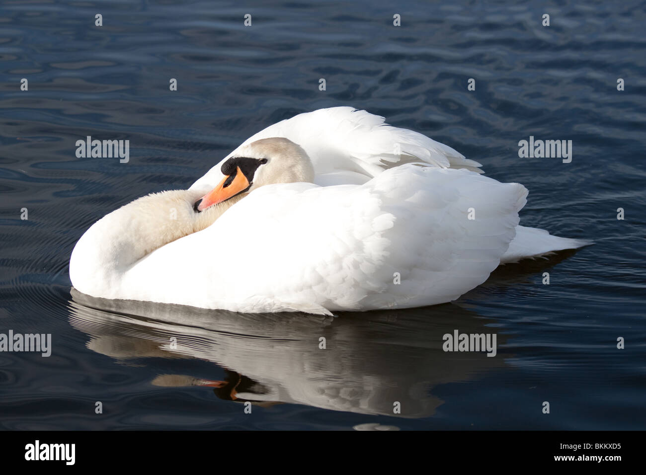 Mute swan in aggressive pose with the light reflecting the rippling dark blue water. - Stock Image