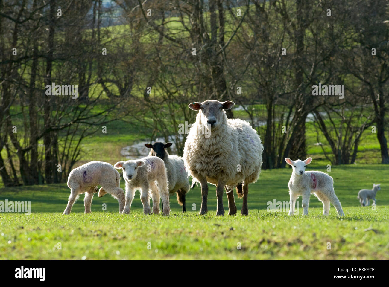 Sheep in the Welsh Marches - Stock Image