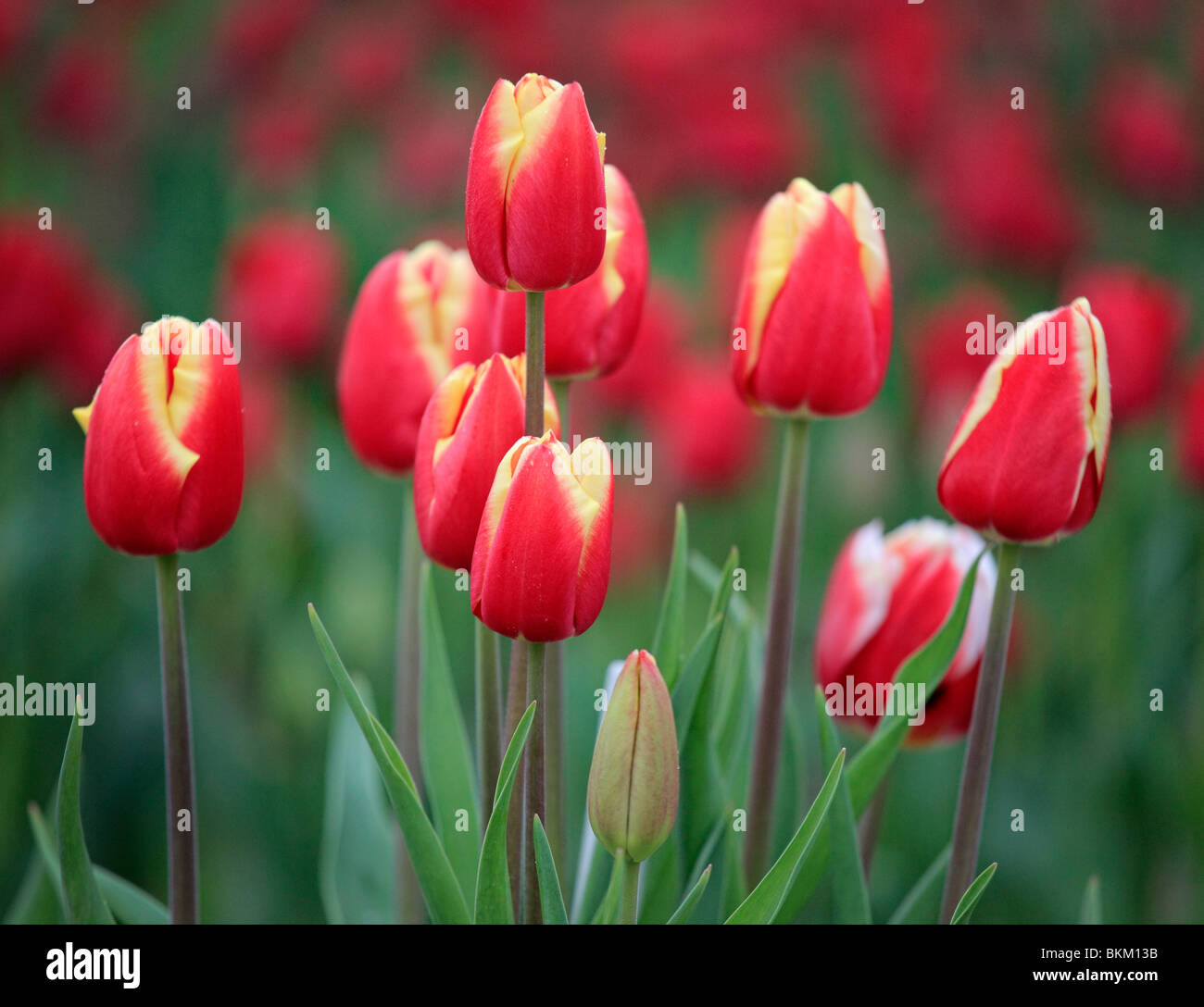 Tulips in Skagit Valley during the annual Tulip Festival - Stock Image