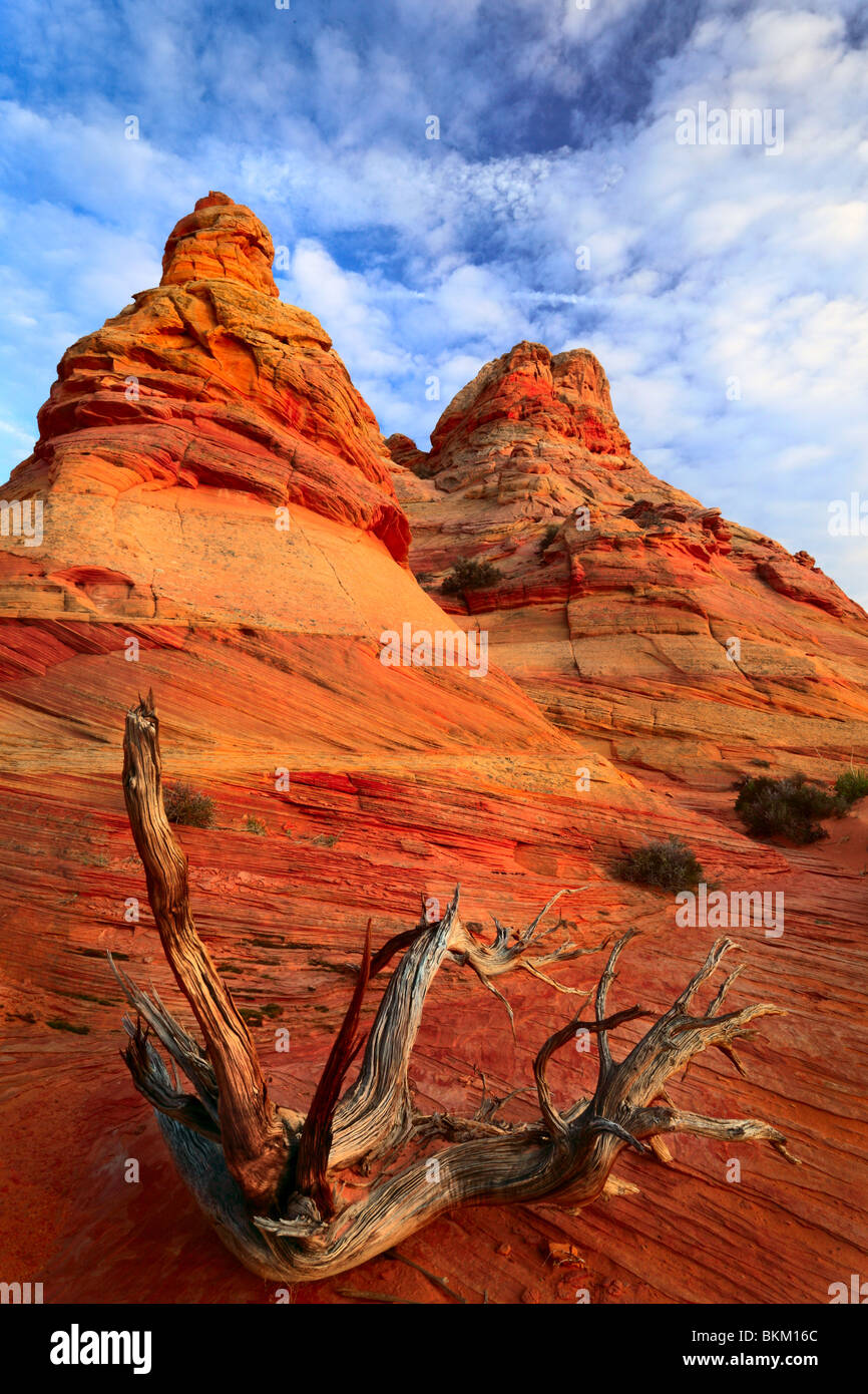 Dead juniper contrasted against a sandstone wall in Vermilion Cliffs National Monument, Arizona - Stock Image