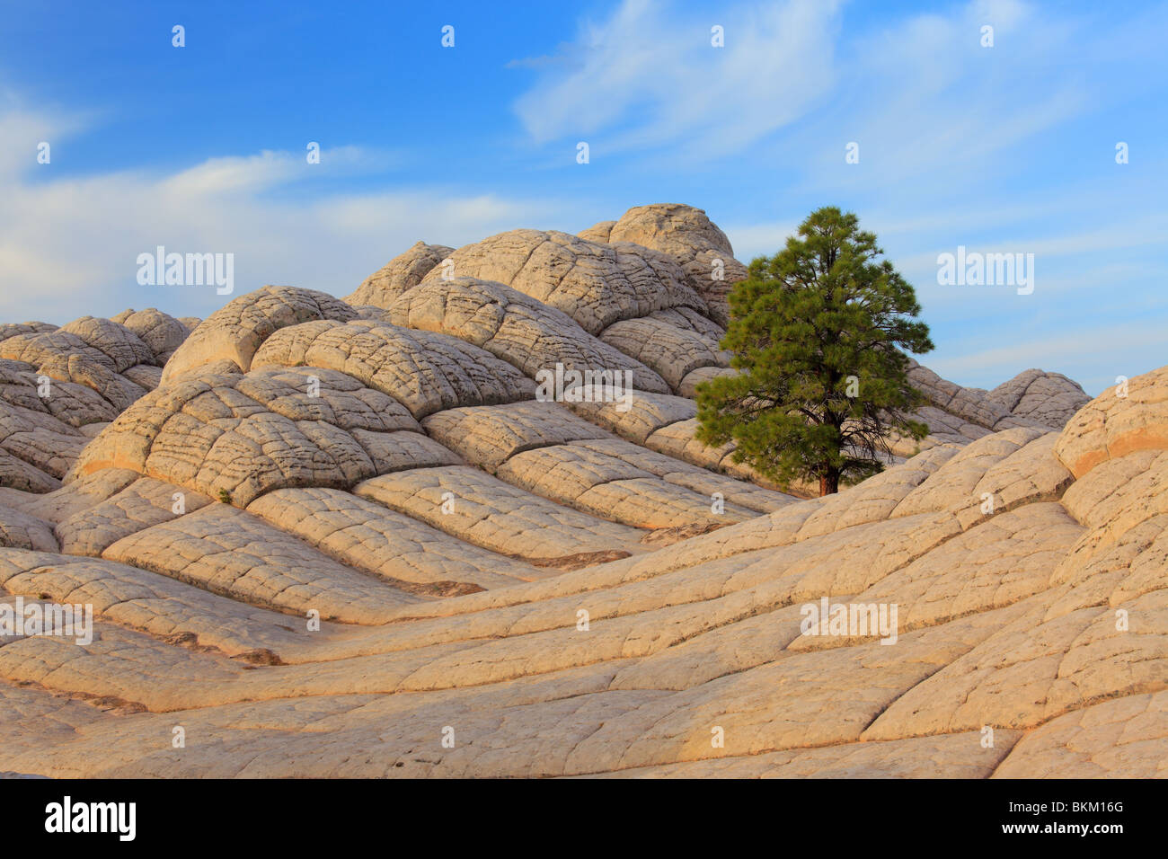 Tree among 'brain rock' sandstone formations in the White Pocket unit of the Vermilion Cliffs National Monument - Stock Image