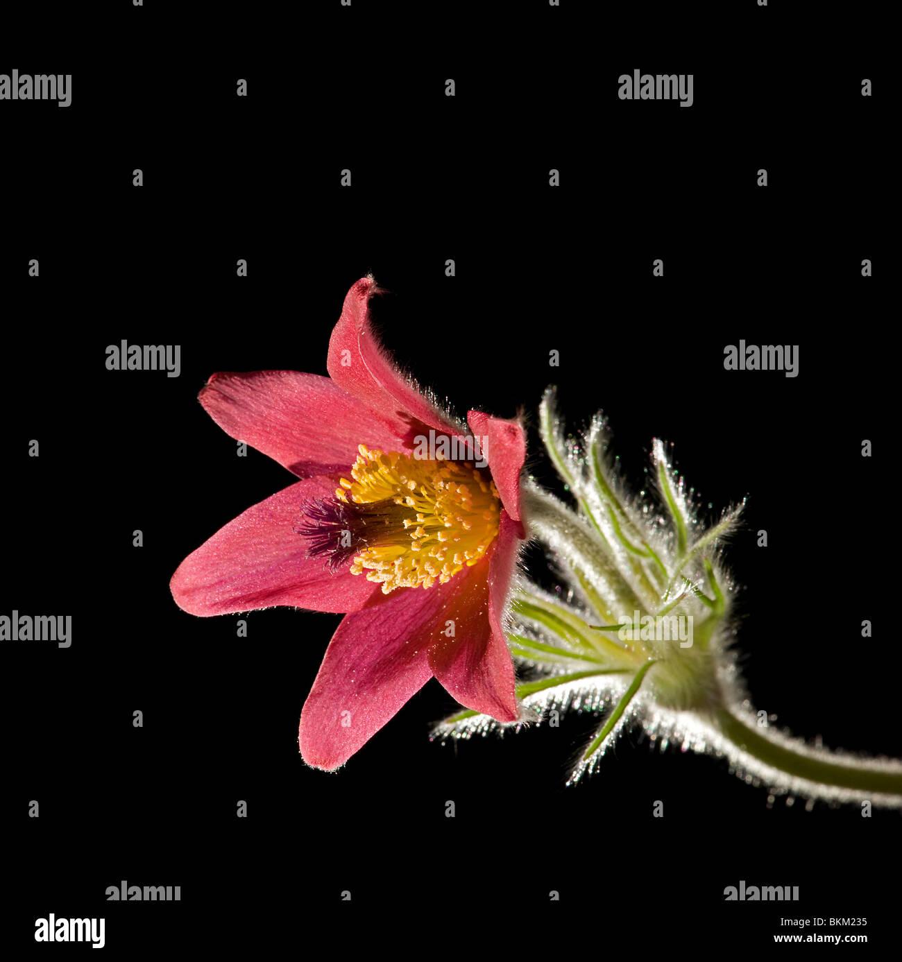 Red pasque flower, Pulsatilla vulgaris rubra - Stock Image