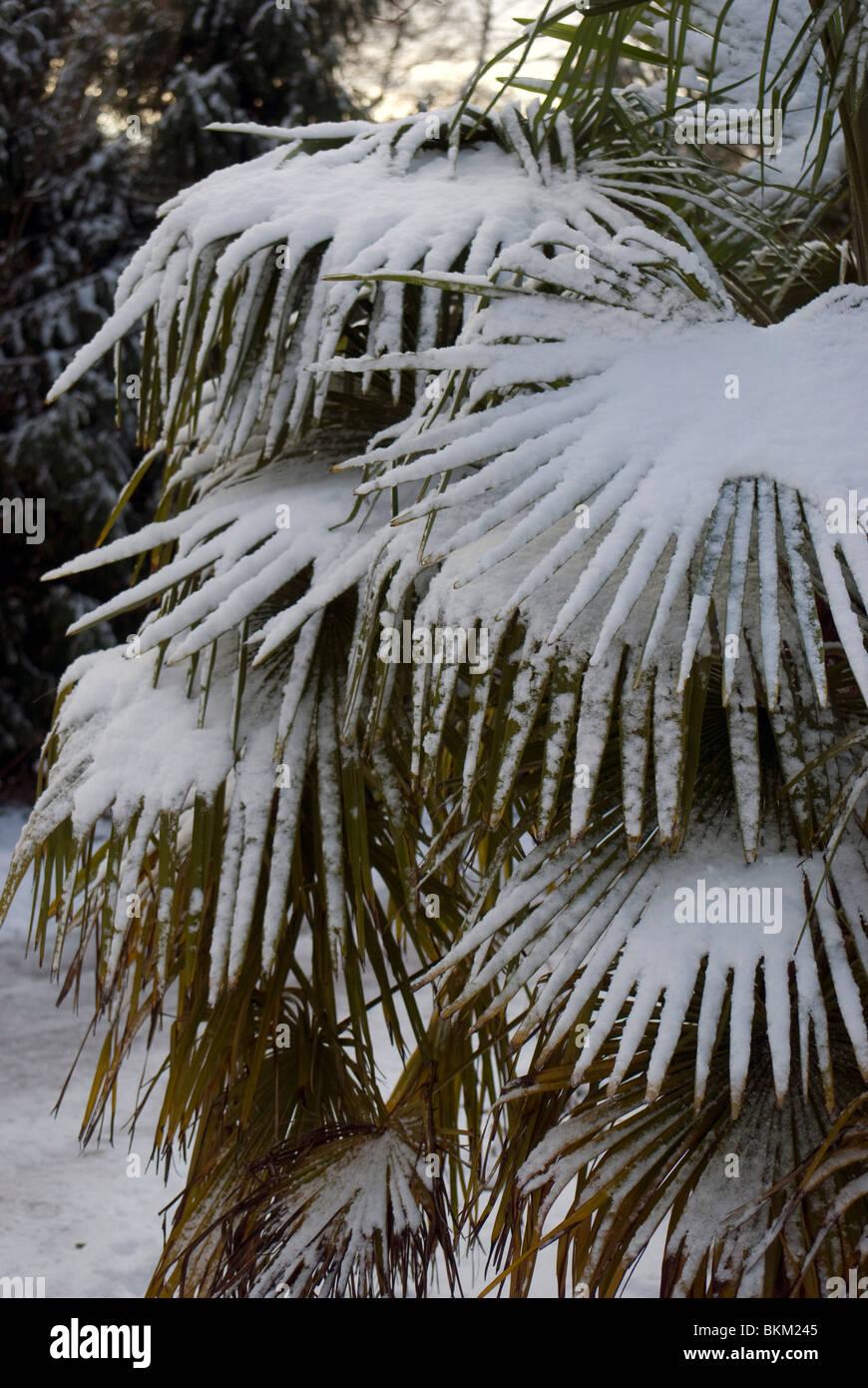 Snow on a palm plant in the Royal Botanic Garden, Edinburgh, Scotland. - Stock Image