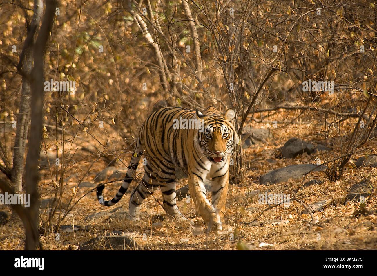 Male Bengal tiger, Panthera tigris, walking through scrub, Ranthambore N P, India - Stock Image