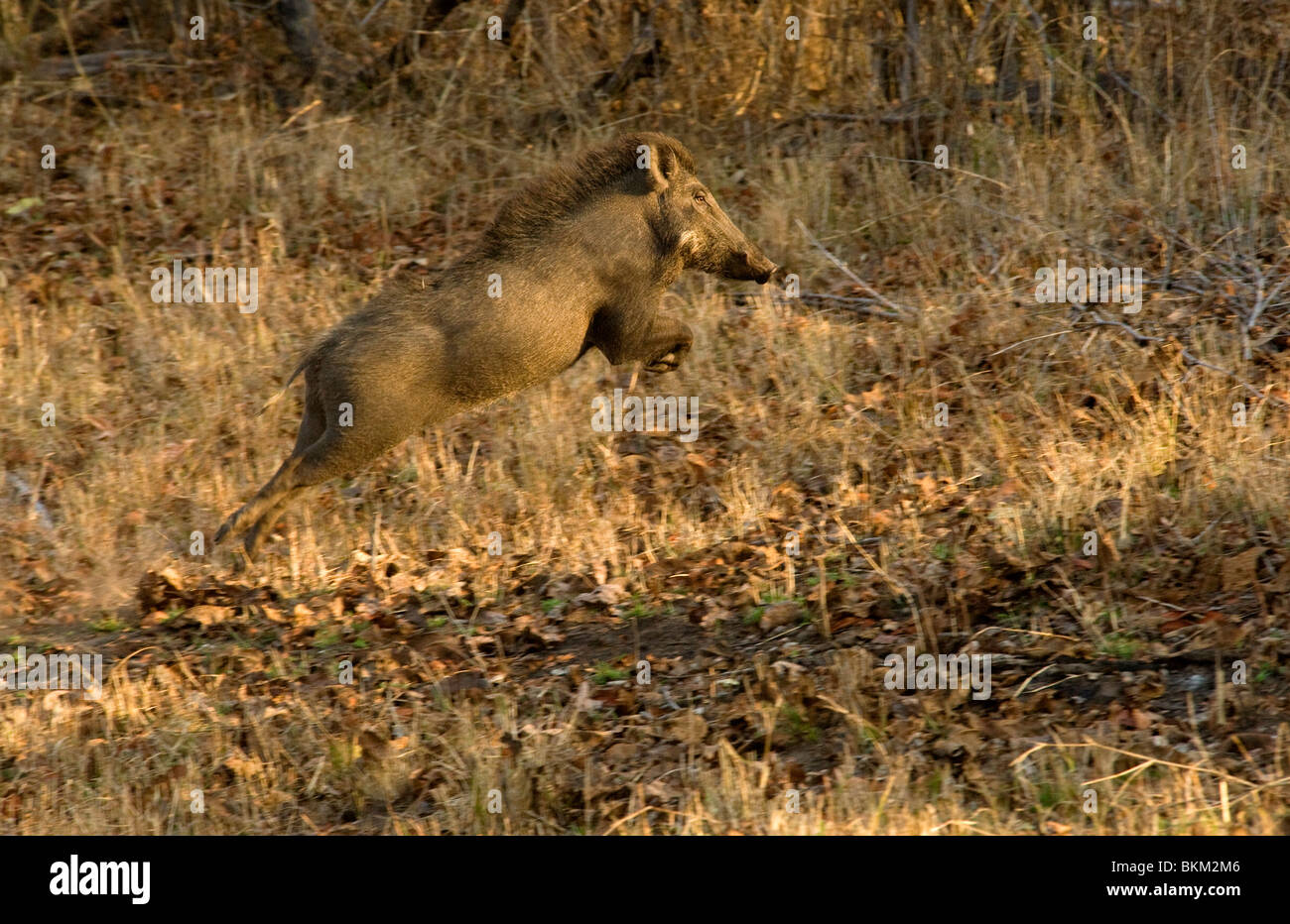 Wild boar flees from alarm calls in response to tigers Kanha NP, India - Stock Image