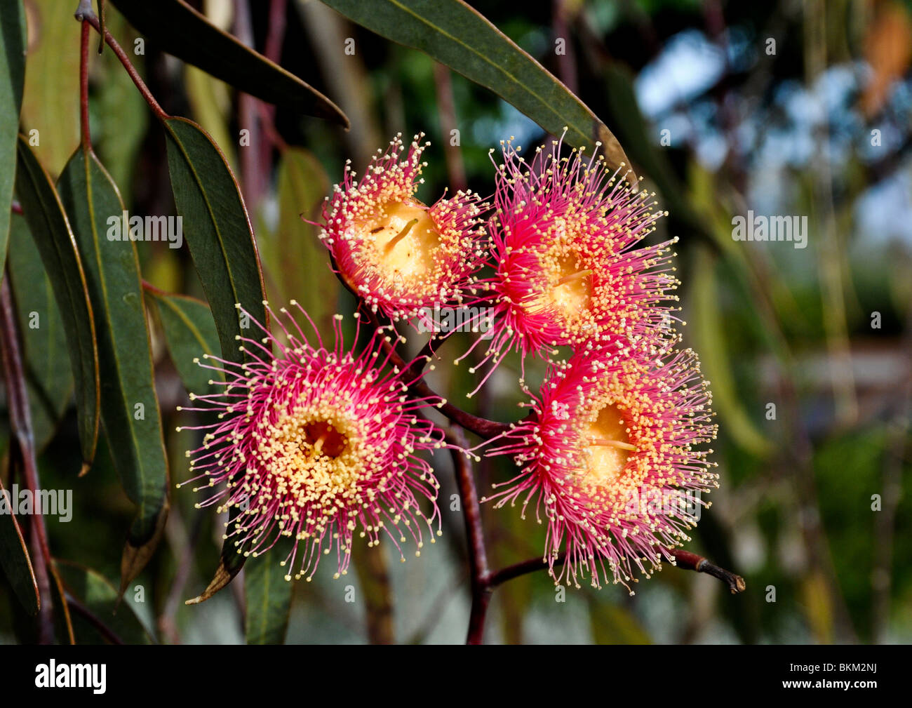 Attractive pinkish-red flowers of Eucalyptus Caesia plants with deep green foliage are found in gardens of Western - Stock Image
