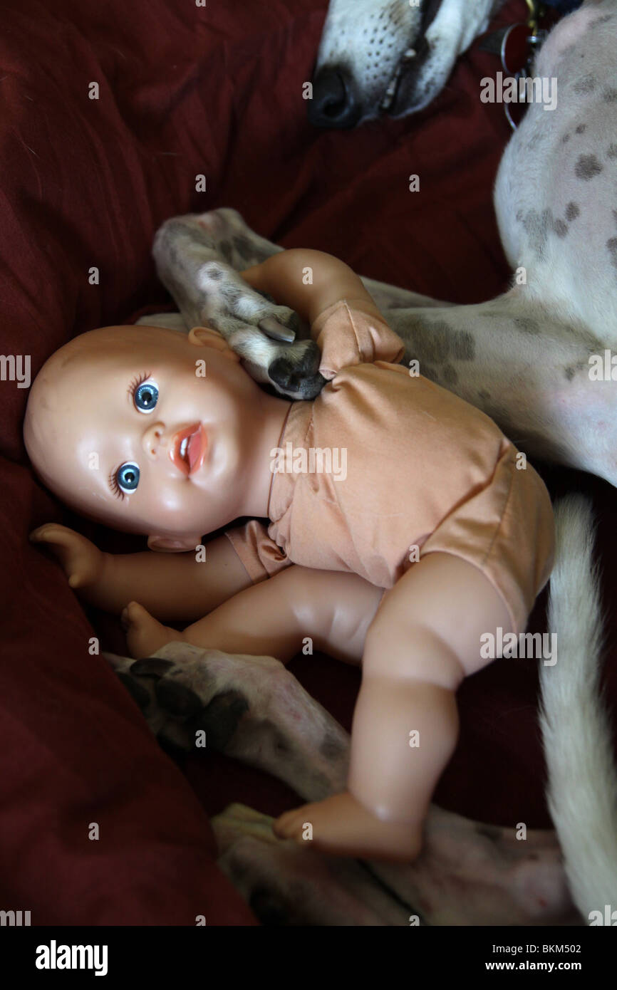 A baby doll tangled up in the legs of a sleeping dog. Stock Photo