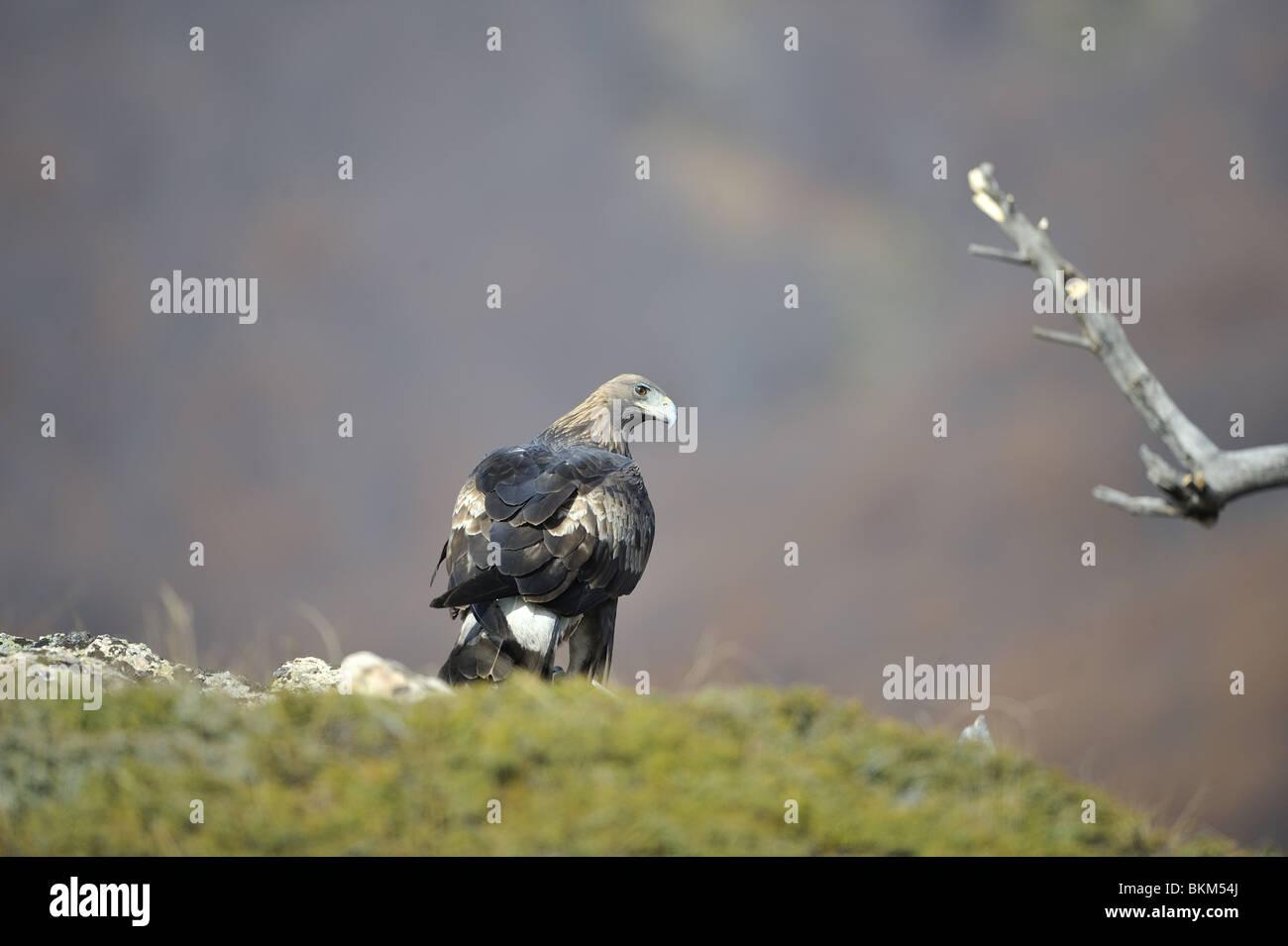 Immature golden eagle in winter Bulgaria - Stock Image
