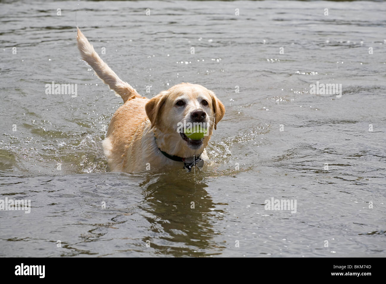 A yellow Labrador Retriever chases a tennis ball into a river to retrieve for its master - Stock Image
